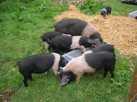 pigs_in_grass_480x360.jpg
